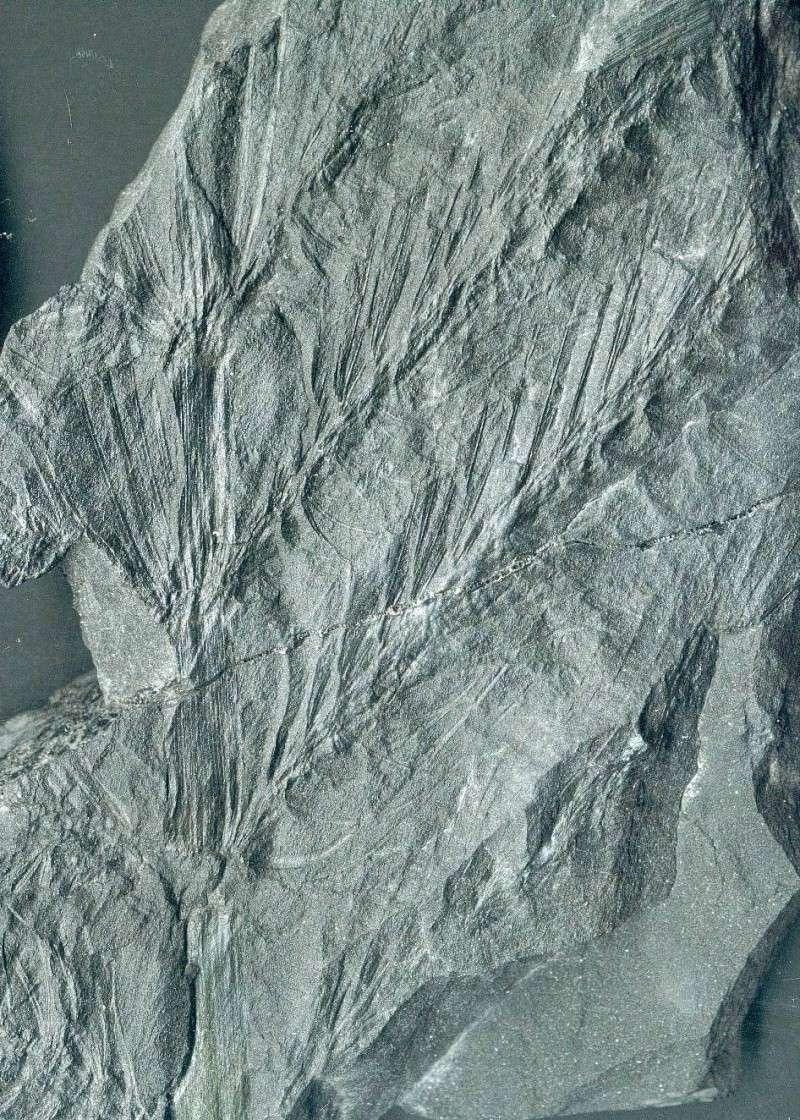 Flore Carbonifère des Alpes Françaises part 1 Astero10