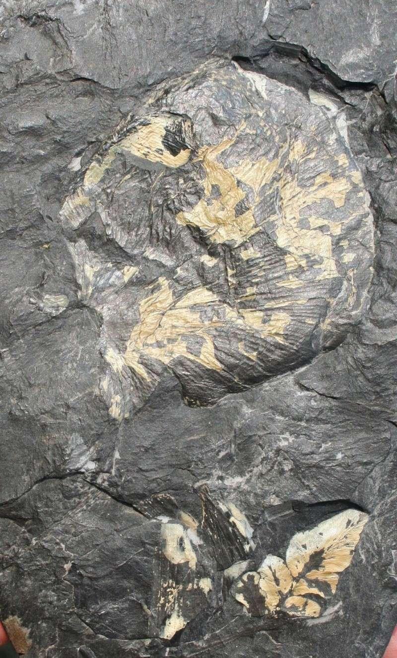 Neuropteris ovata Hoffmann . Cyclopteris Brongniart , 1830.  Cyclop10