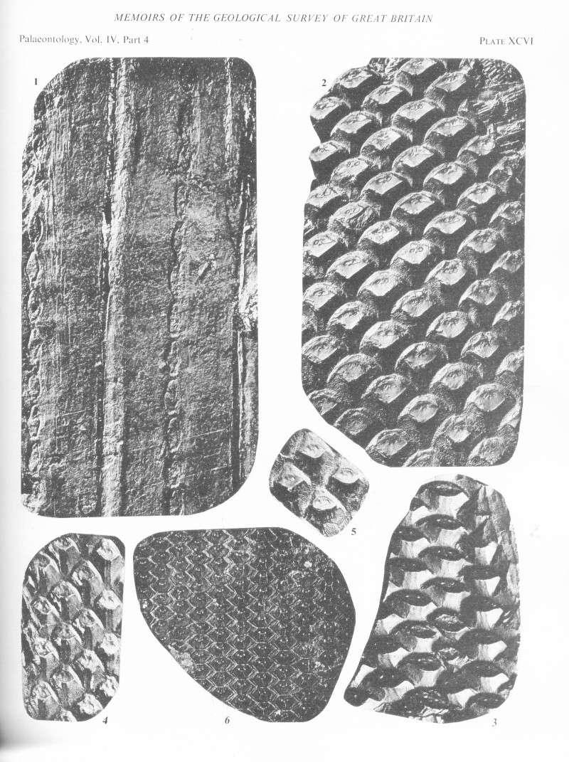Lepidophloios Sterzel , 1907. File2013
