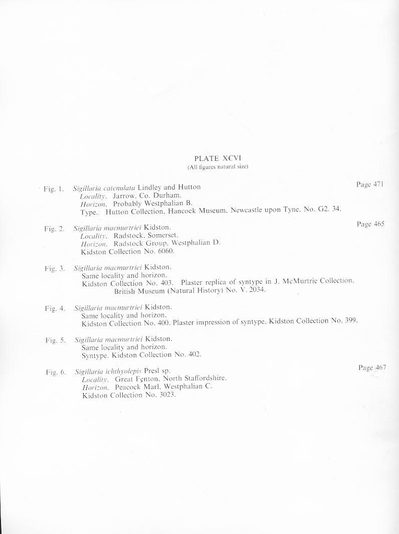 Lepidophloios Sterzel , 1907. File2014