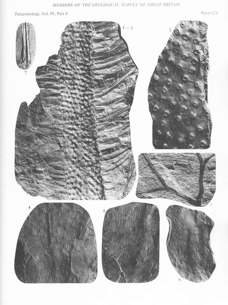 Stigmaria Brongniart , 1822 .  File2113