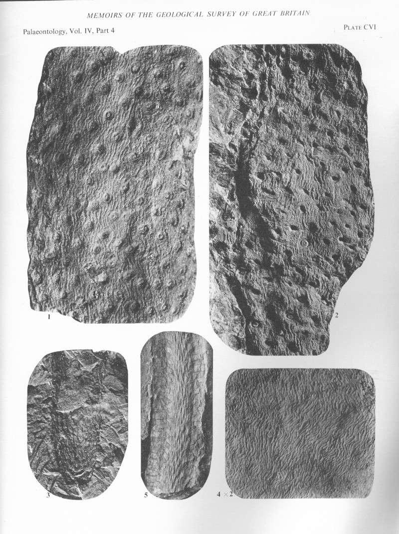 Stigmaria Brongniart , 1822 .  File2115
