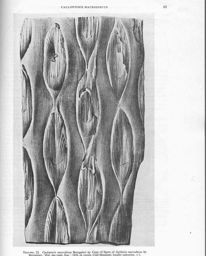 Ptychopteris Corda , 1845 . File2511