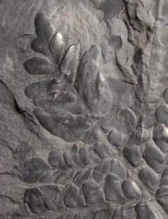 Neuropteris ovata Hoffmann . Cyclopteris Brongniart , 1830.  Fossil11
