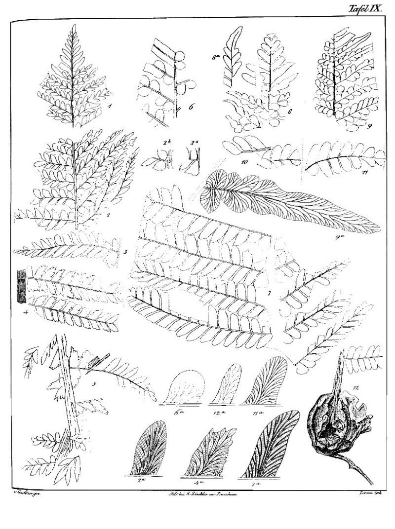 Odontopteris Brongniart , 1825 . Gutbie10