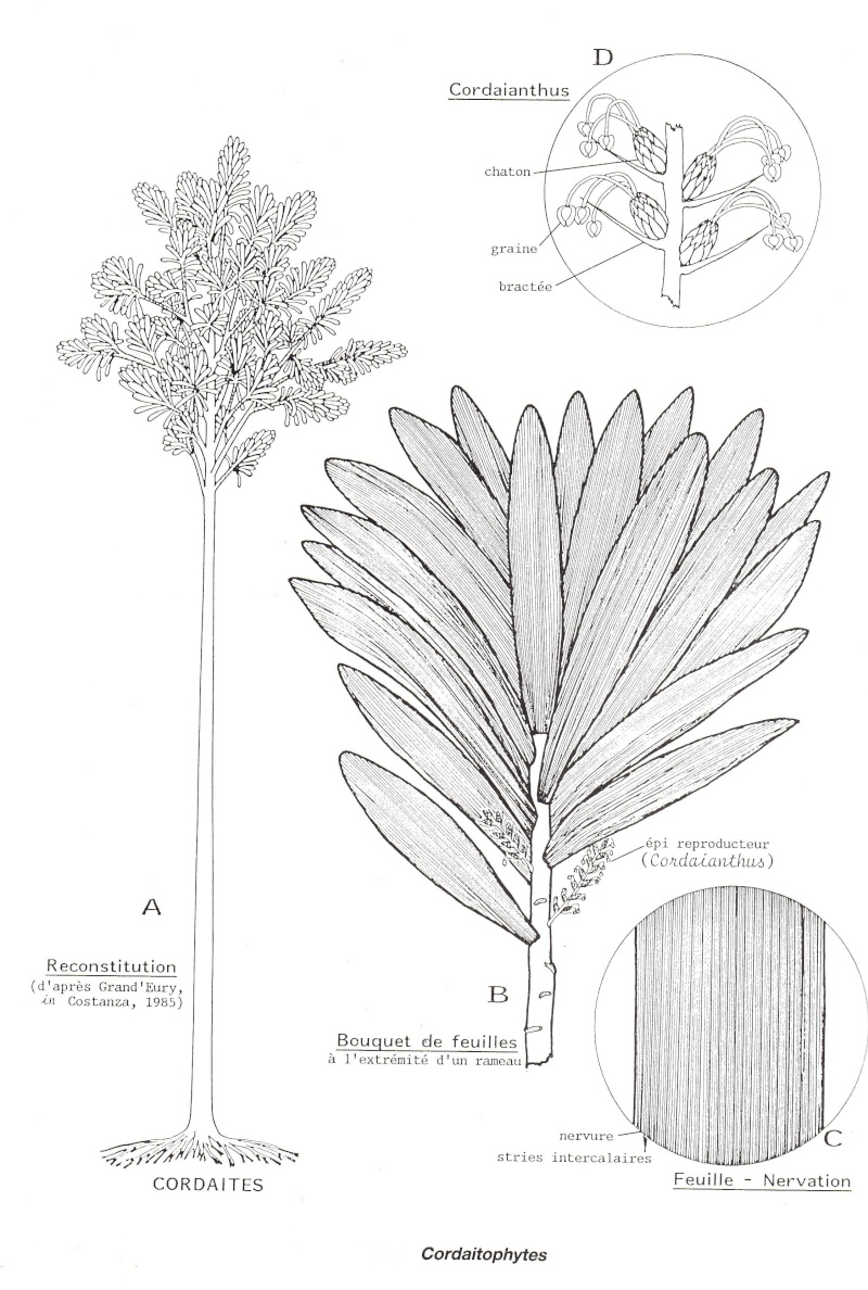 Cordaites Unger , 1850. Img24710