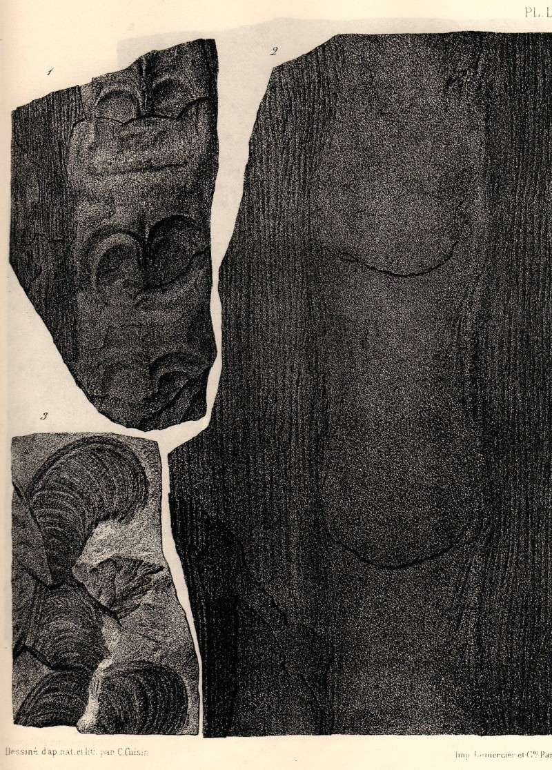Megaphyton Artis , 1825 . Img47010