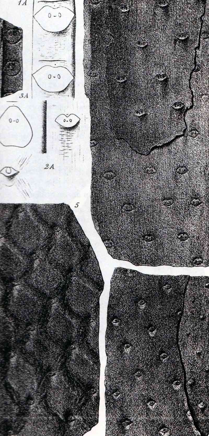 Asolanus Wood, 1860. Img48410