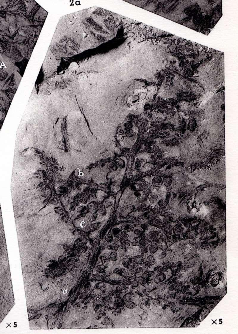 Rhodeites  Urnatopteris   Img48510