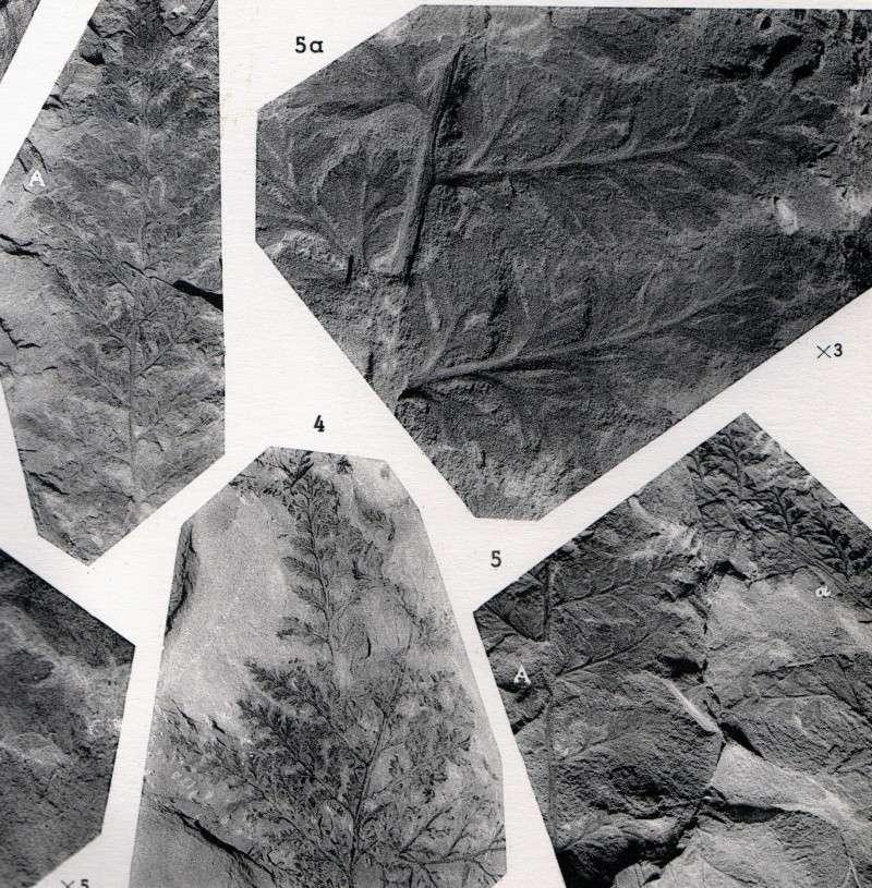 Rhodeites  Urnatopteris   Img48710
