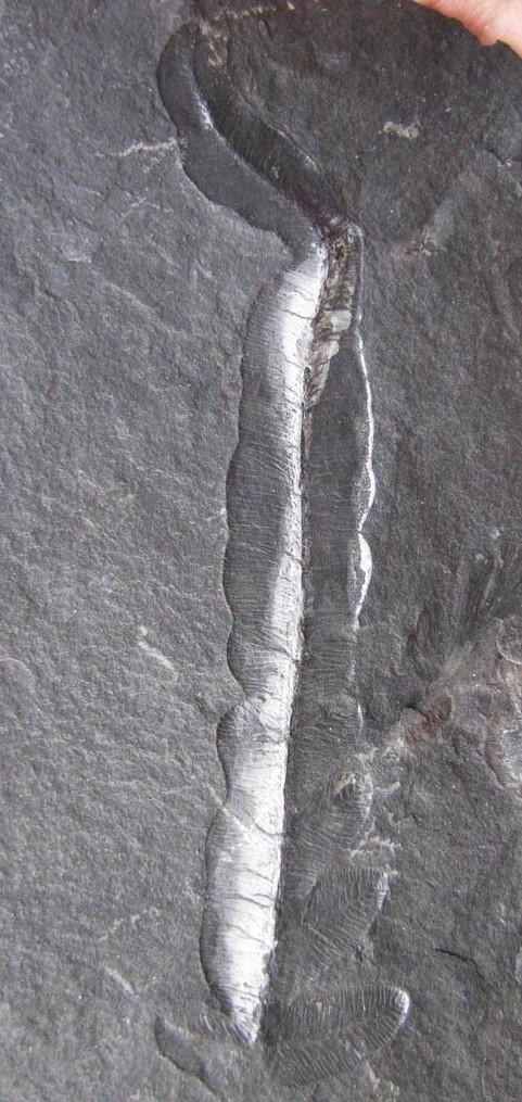 Les fossiles de St Clair ,Pennsylvanien des USA  Img_2315