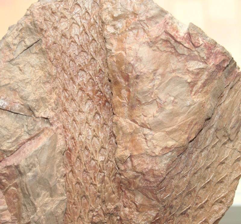 Lepidodendron Sternberg , 1820 .  Img_2811