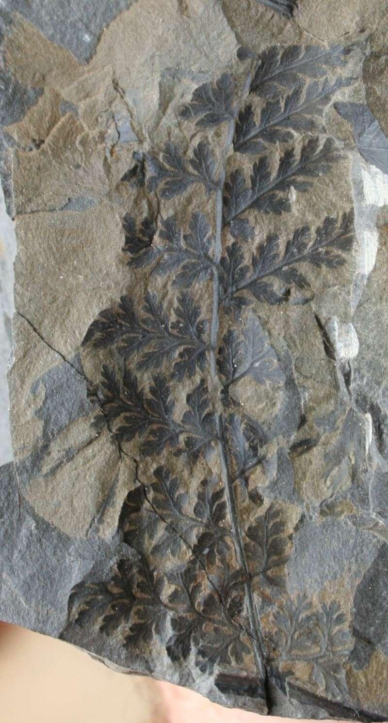 Rhodeites  Urnatopteris   Img_3811