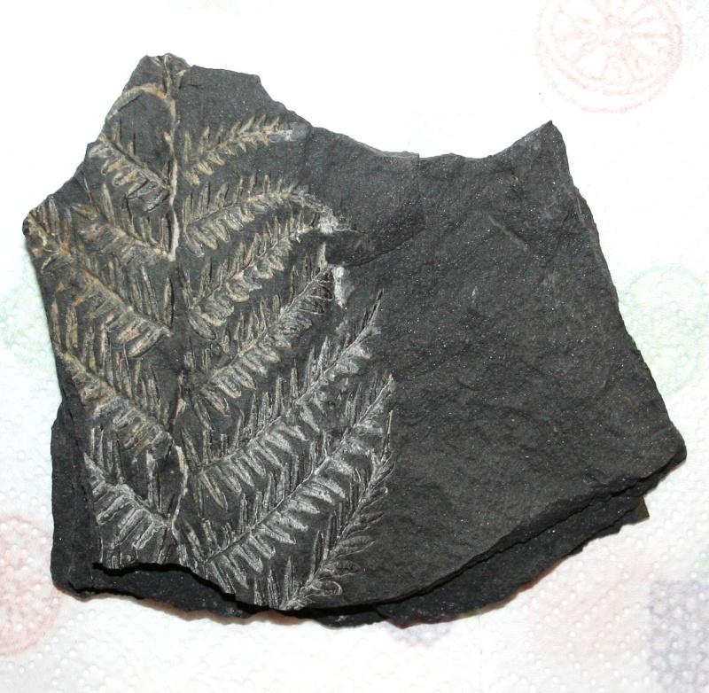 Les fossiles de St Clair ,Pennsylvanien des USA  Img_4110