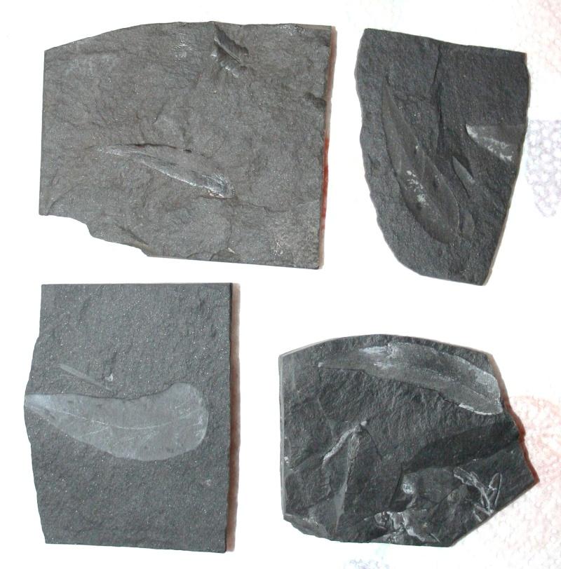 Les fossiles de St Clair ,Pennsylvanien des USA  Img_4111