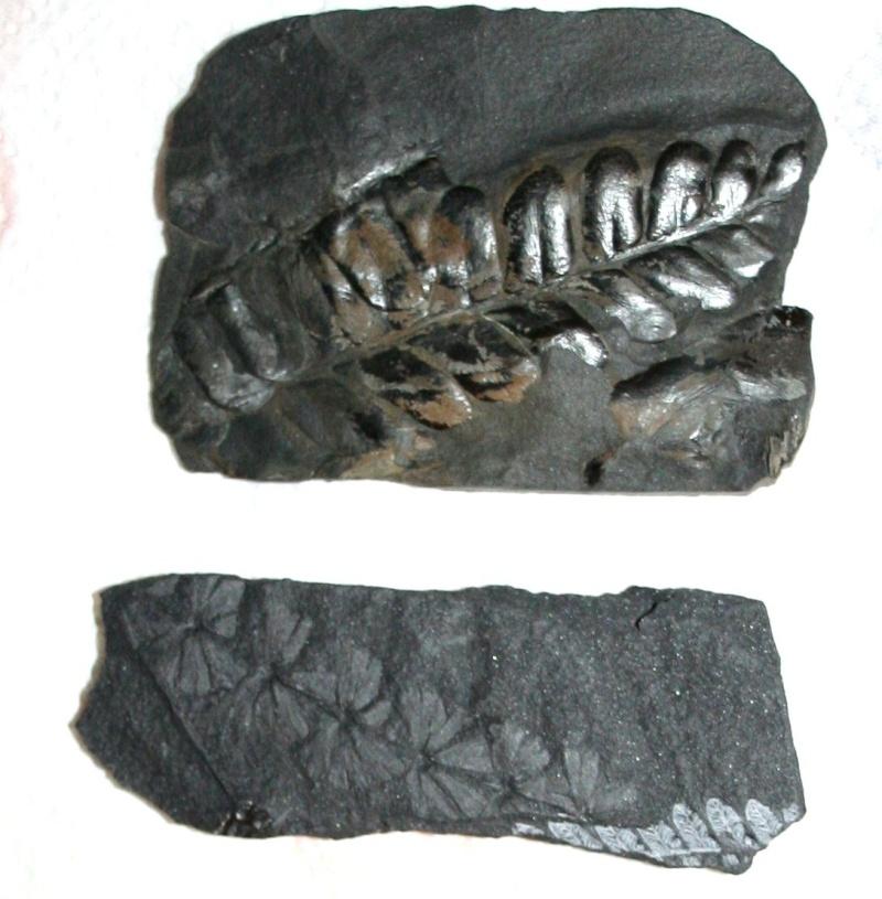 Les fossiles de St Clair ,Pennsylvanien des USA  Img_4113