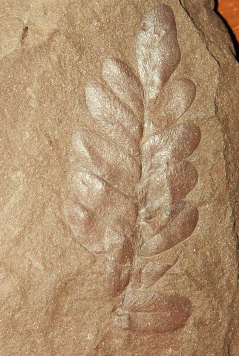 Neuropteris (Brongniart ) Sternberg , 1825. Img_4411