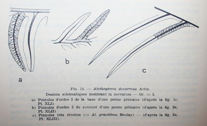 Alethopteris Sternberg 1825. Img_5010