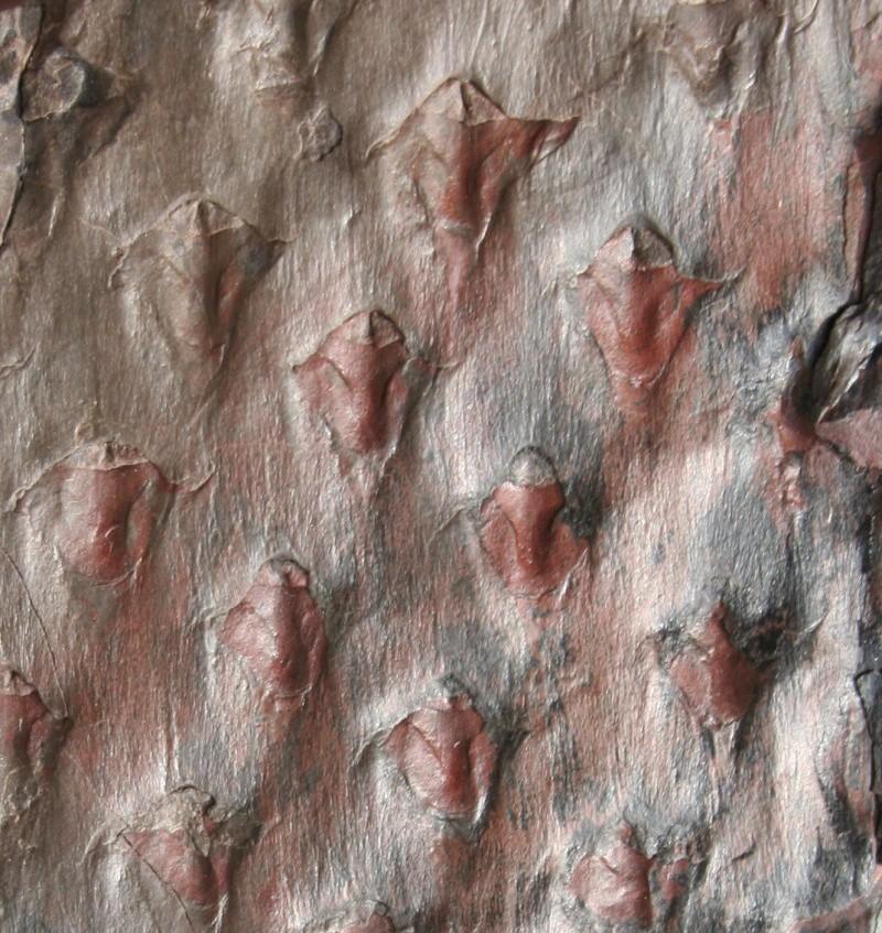Asolanus Wood, 1860. Img_5110