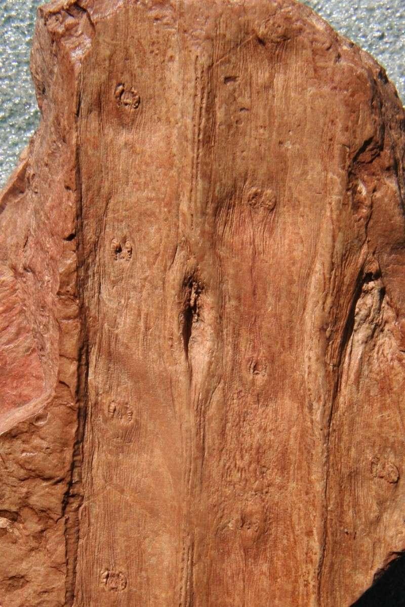 Sigillaria et zone d'insertion des sigillariostrobus Img_7010