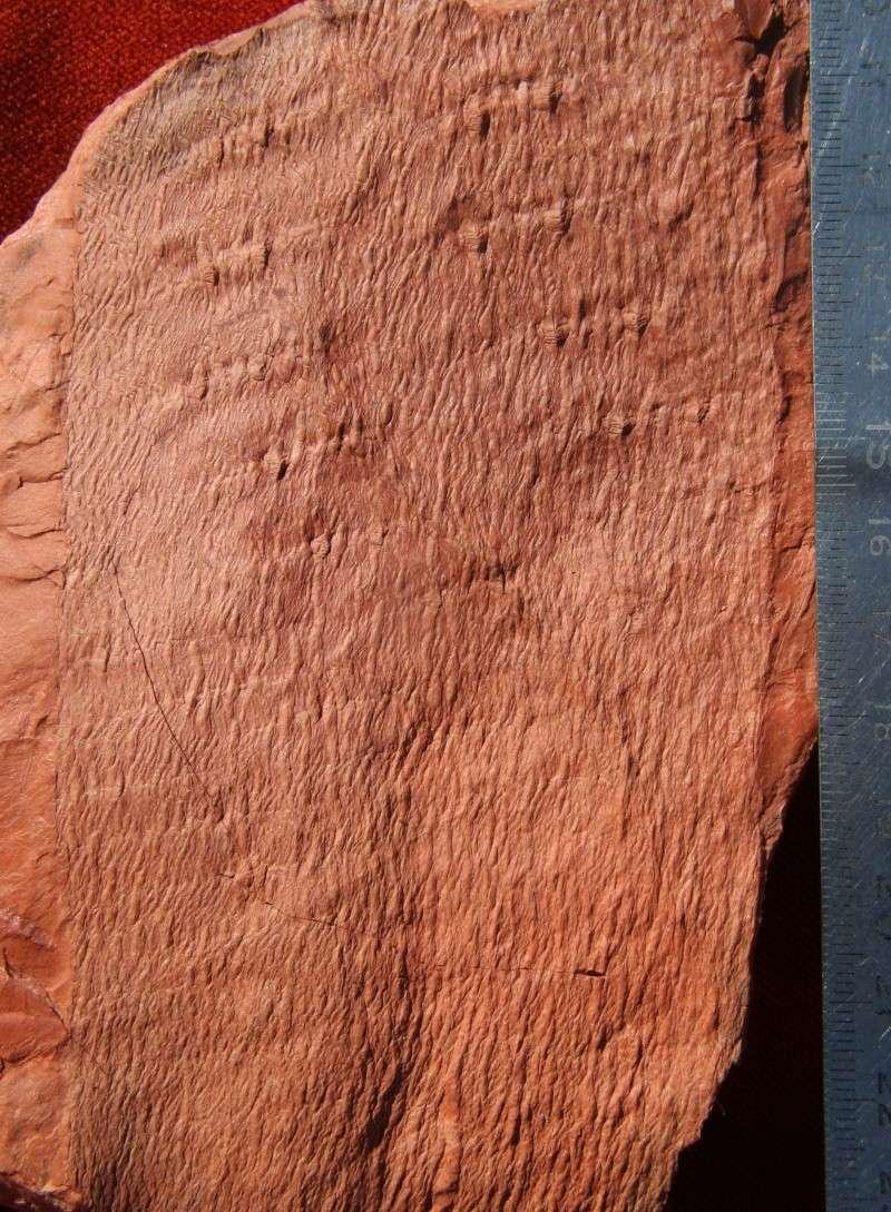 Grès (Sandstone) Schistes( Shale) types de conservation Img_7012