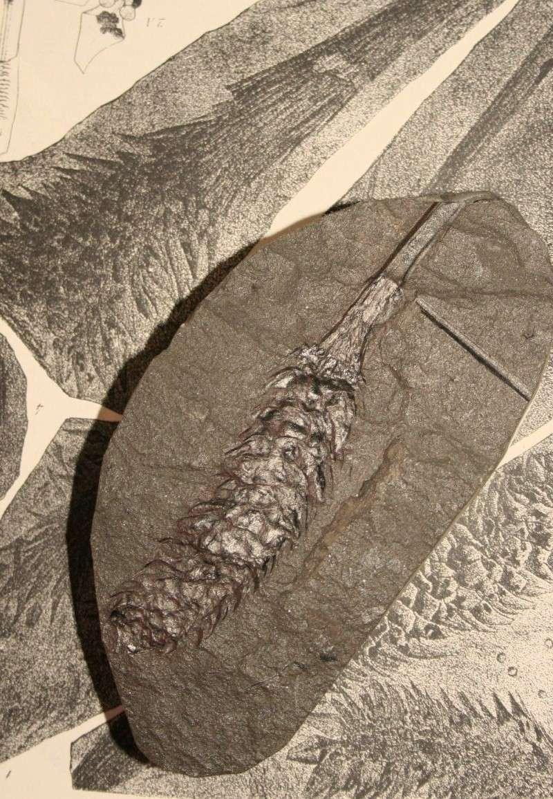 Sigillaria et zone d'insertion des sigillariostrobus Img_7611