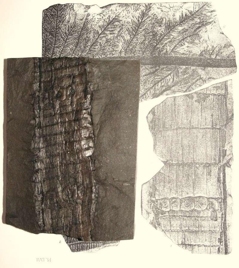 Calamites Schlotheim ,1820.  Annularia sternberg , 1822 .  Img_7613