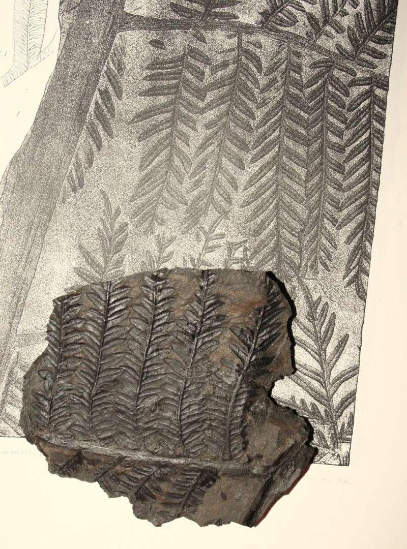 Alethopteris Sternberg 1825. Img_7710