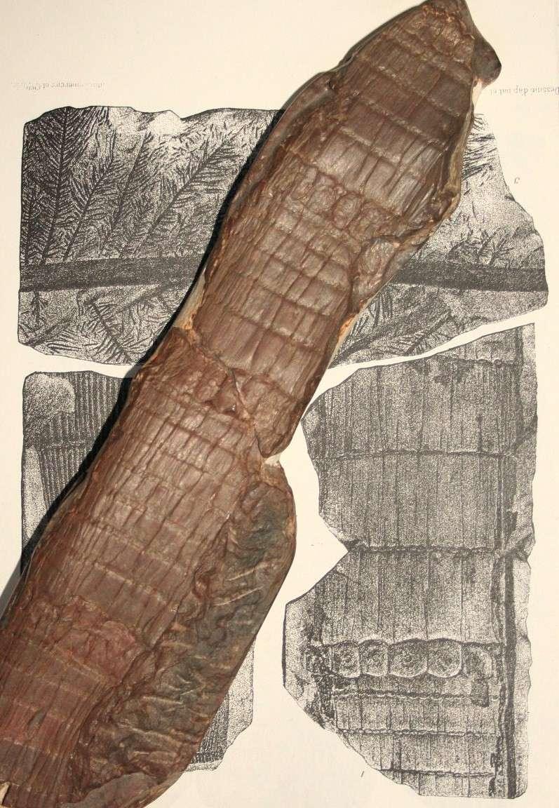 Calamites Schlotheim ,1820.  Annularia sternberg , 1822 .  Img_7813