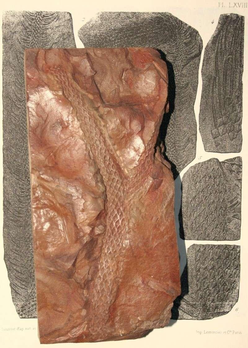 Lepidodendron Sternberg , 1820 .  Img_7815