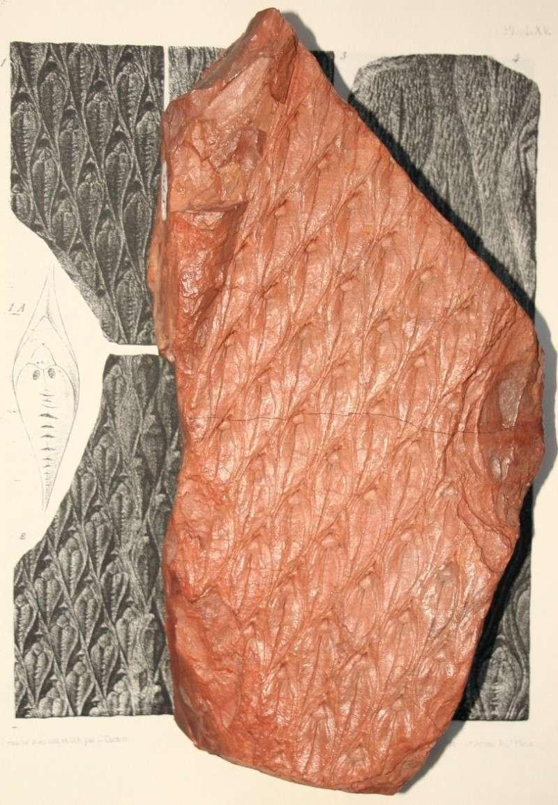 Lepidodendron Sternberg , 1820 .  Img_7816