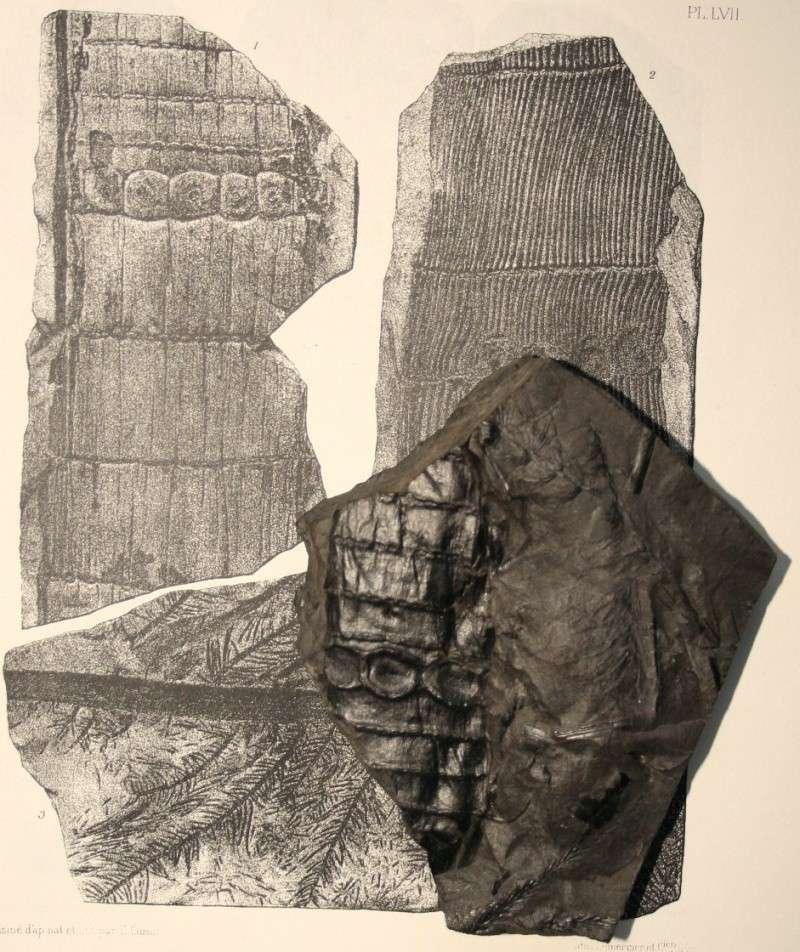 Calamites Schlotheim ,1820.  Annularia sternberg , 1822 .  Img_7817