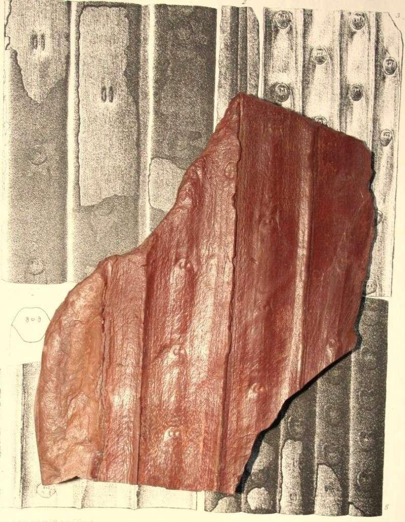 Sigillaria Brongniart ,1822. Syringodendron Sternberg,1820.  Img_7819