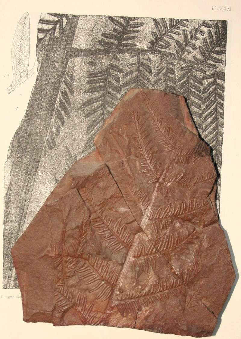 Alethopteris Sternberg 1825. Img_7820