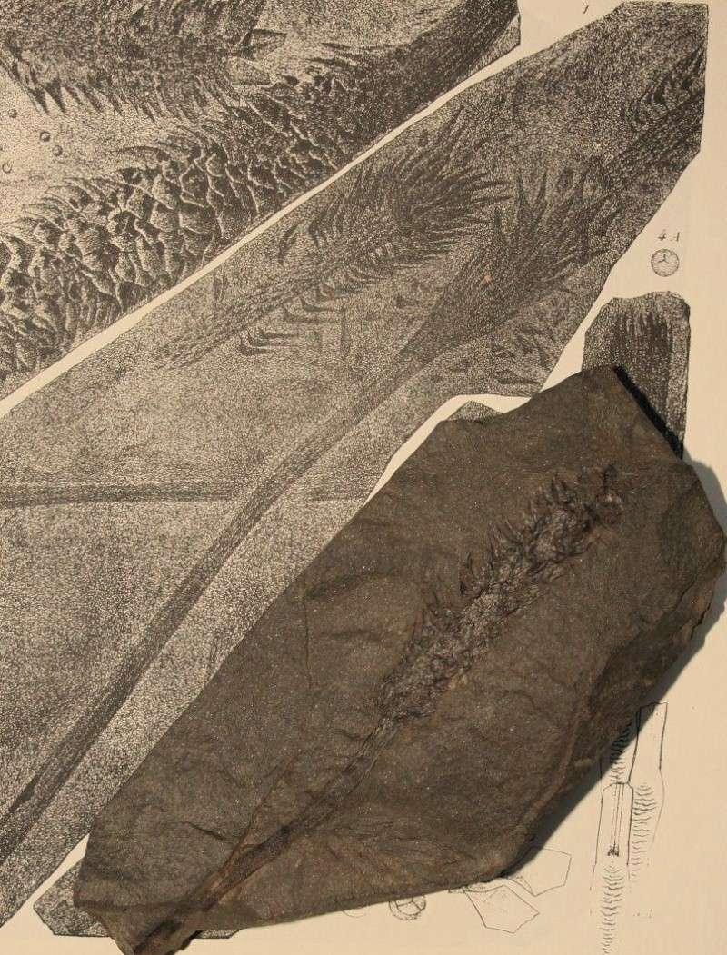 Sigillaria et zone d'insertion des sigillariostrobus Img_7821