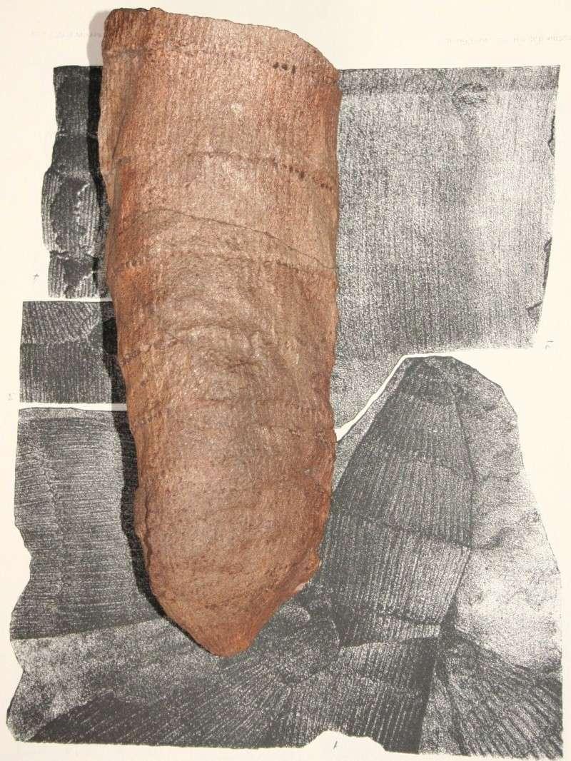 Calamites Schlotheim ,1820.  Annularia sternberg , 1822 .  Img_8010
