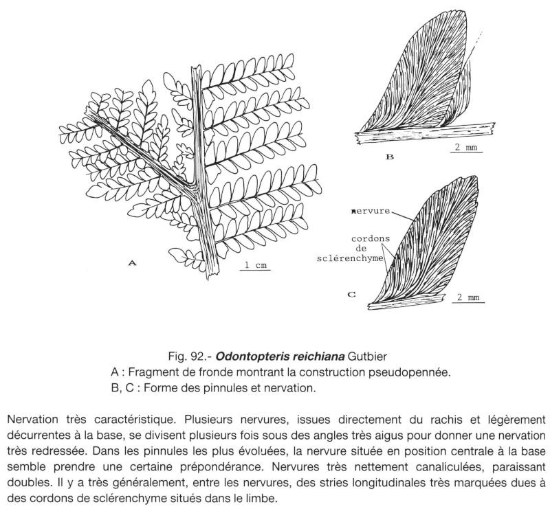 Odontopteris Brongniart , 1825 . Lavein11