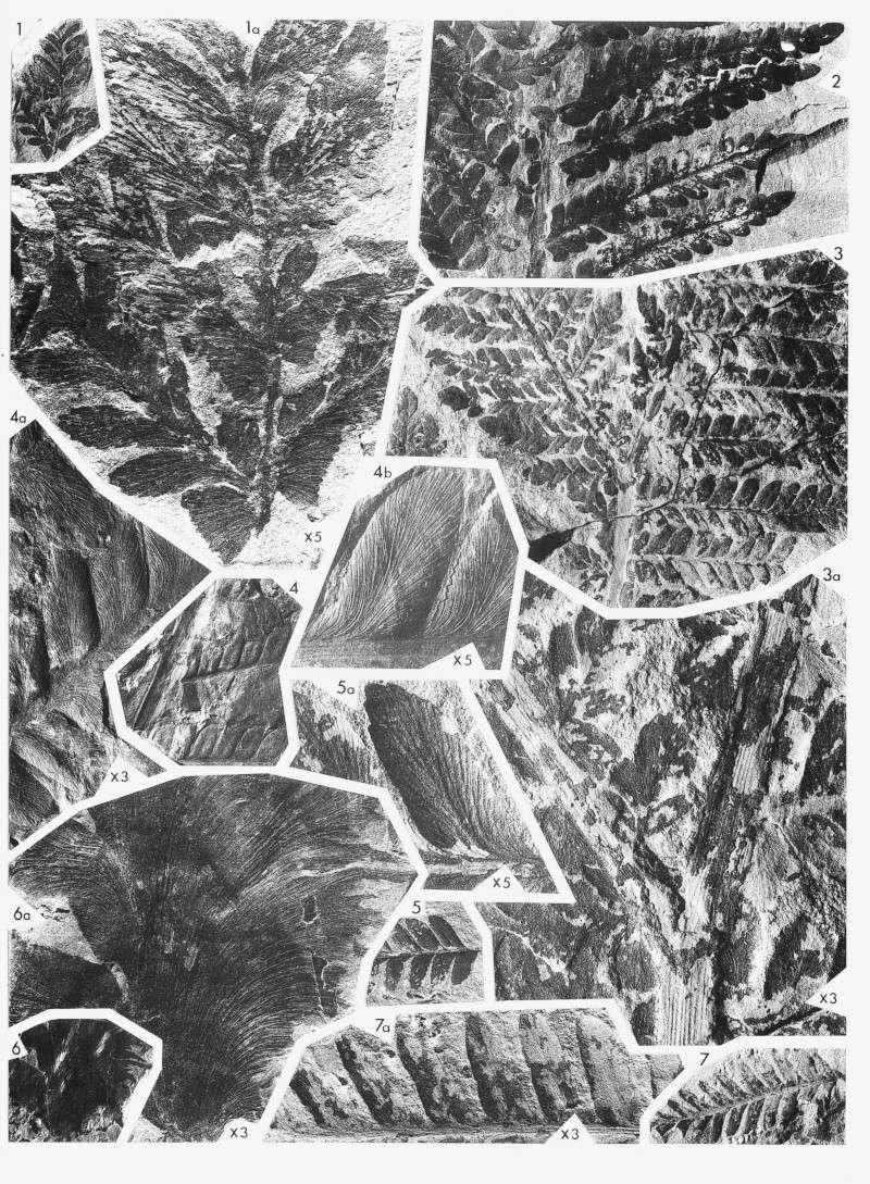 Odontopteris Brongniart , 1825 . Lavein12