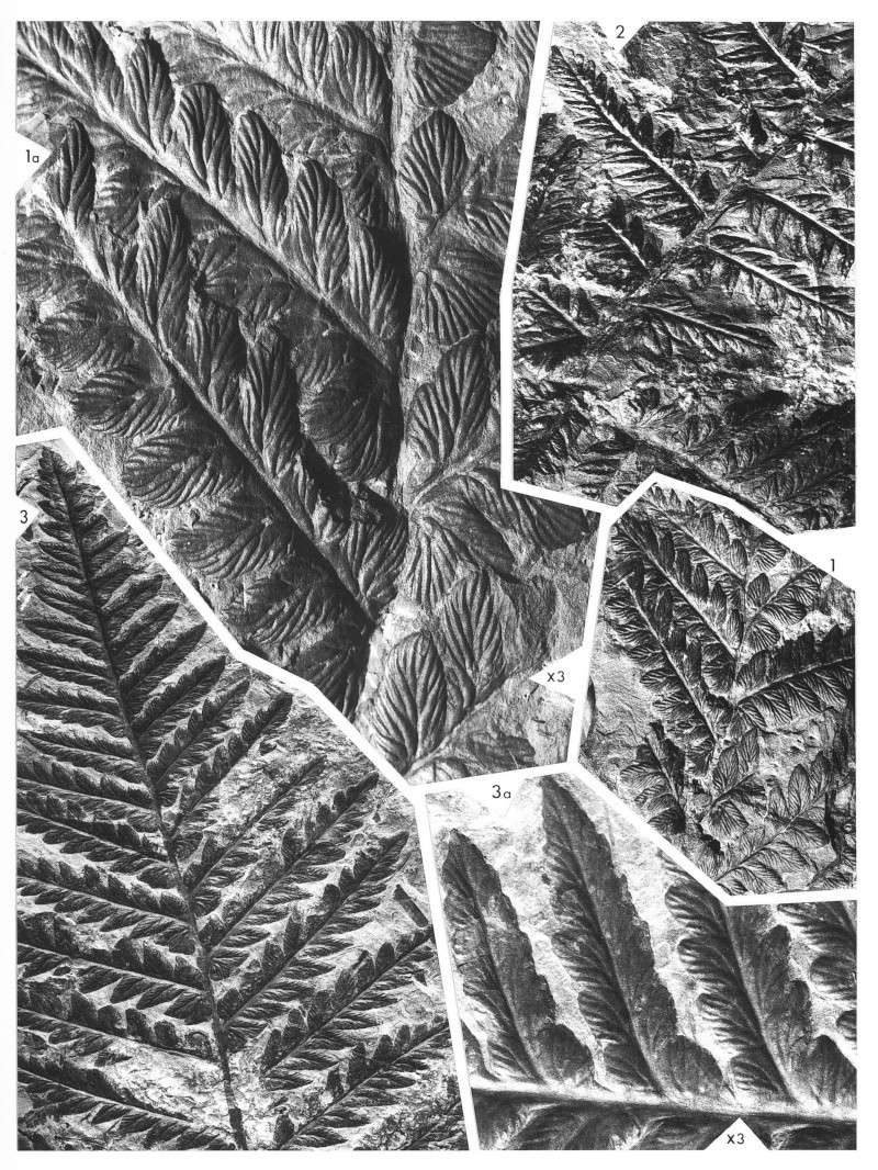Odontopteris Brongniart , 1825 . Lavein13