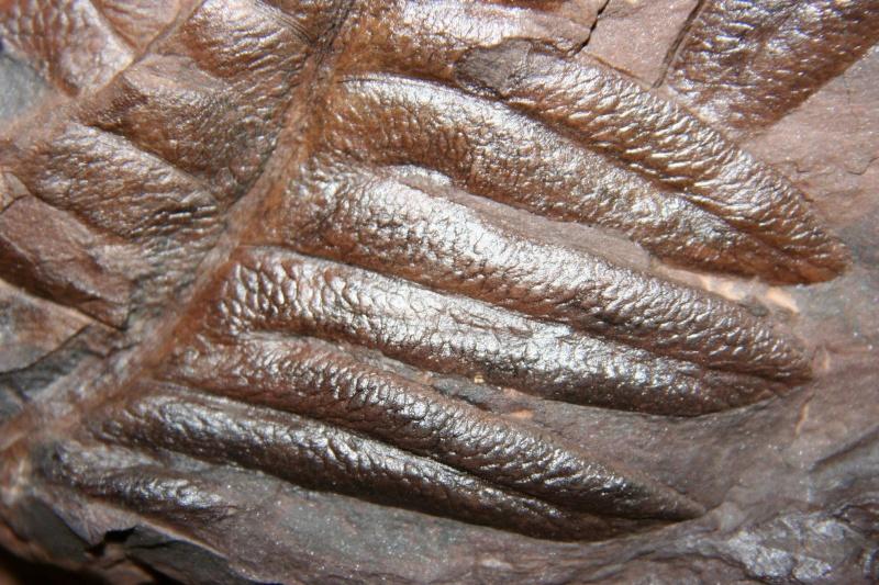 Lonchopteris rugosa Loncho12
