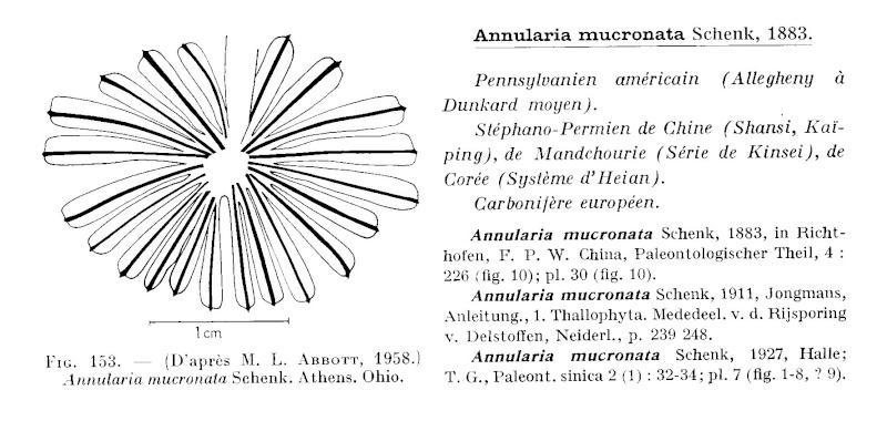 Calamites Schlotheim ,1820.  Annularia sternberg , 1822 .  - Page 2 P174_o10