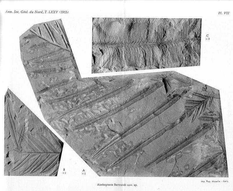 Alethopteris Sternberg 1825. P_142a10