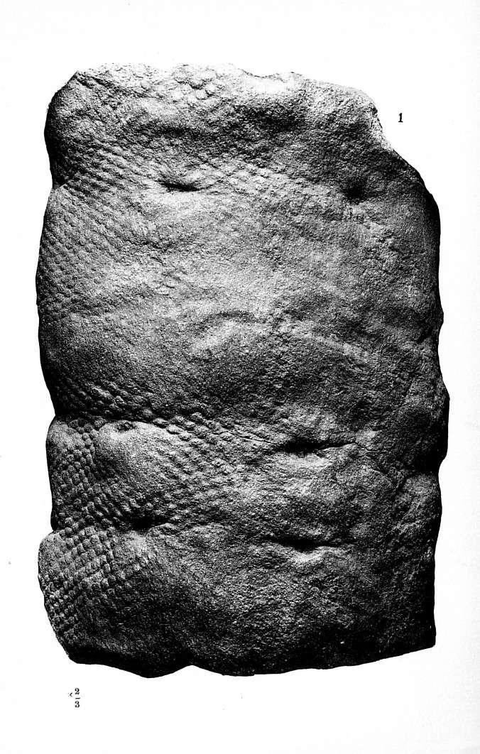 Lepidophloios Sterzel , 1907. P_87a_10