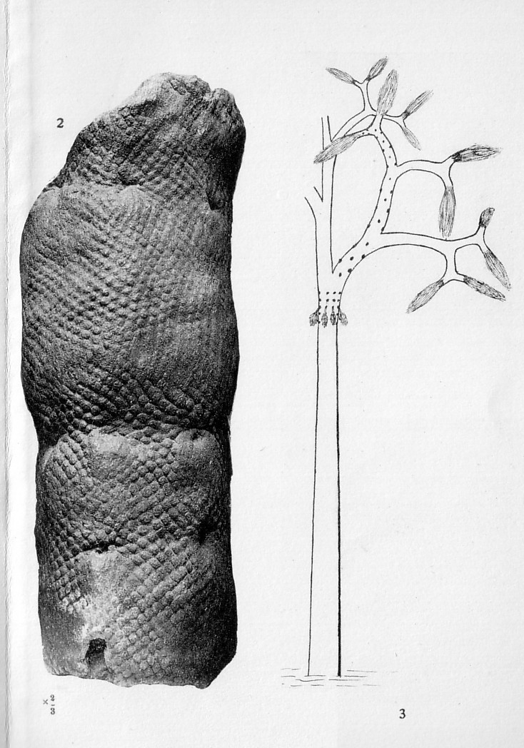 Lepidophloios Sterzel , 1907. P_87b_10