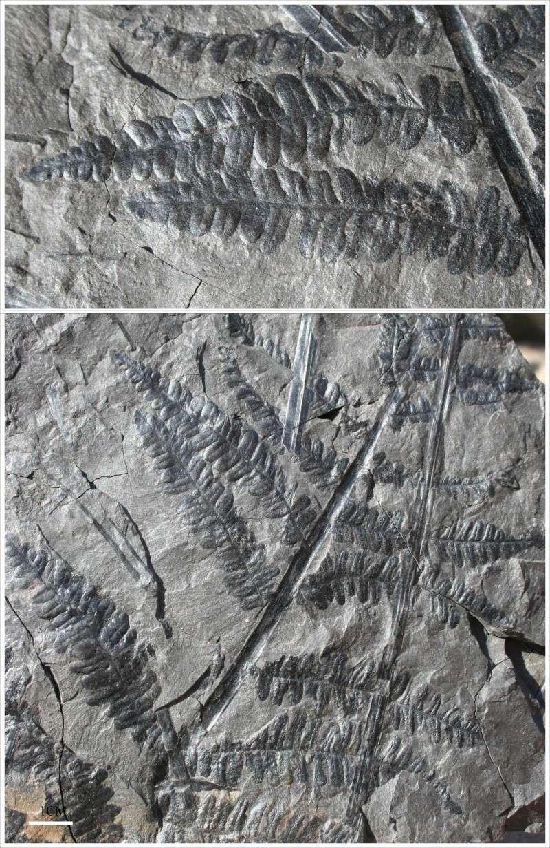 Pecopteris (Brongniart ) , Sternberg 1825. - Page 2 Pecop_14