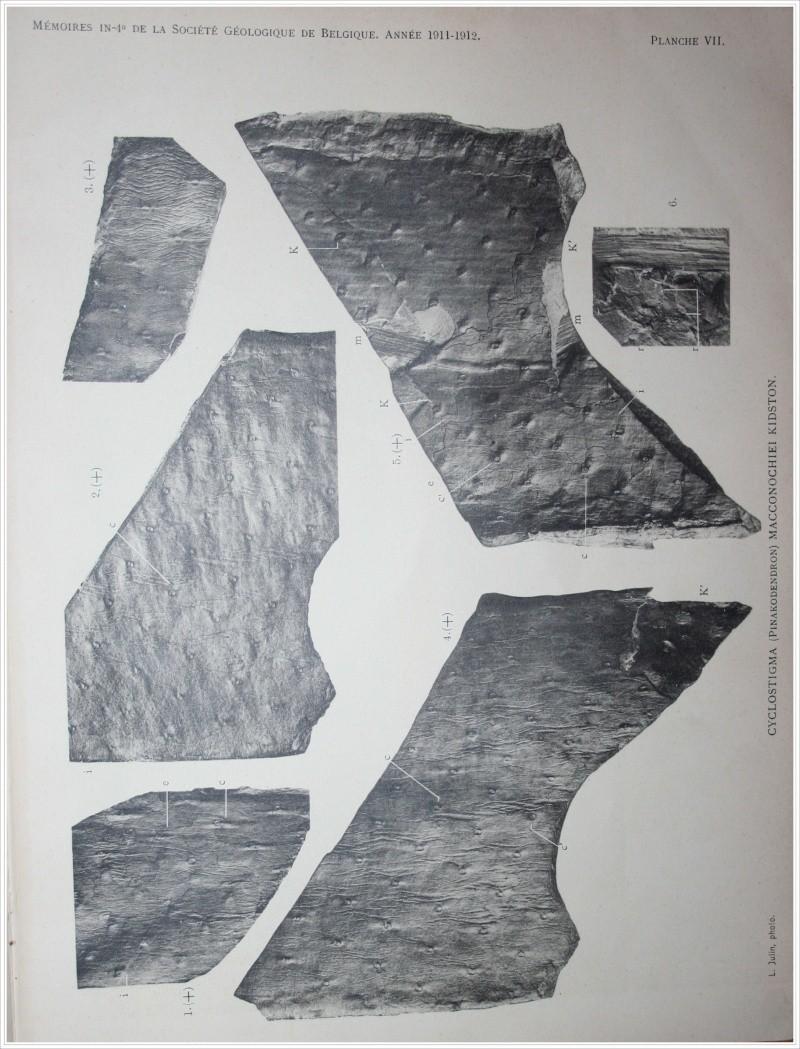 Pinakodendron  Weiss , 1893. Pinako11
