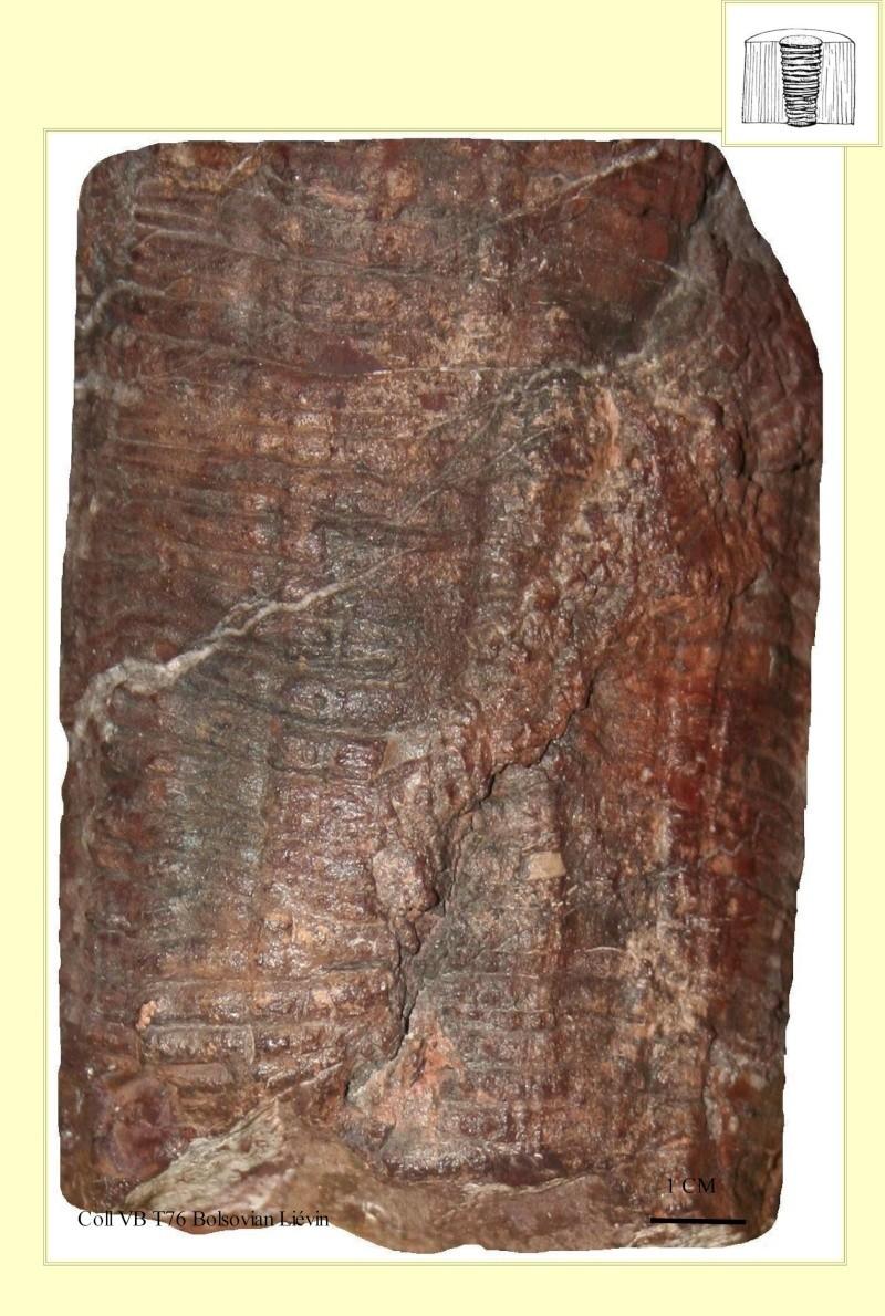 Cordaites Unger , 1850. Pl_art10