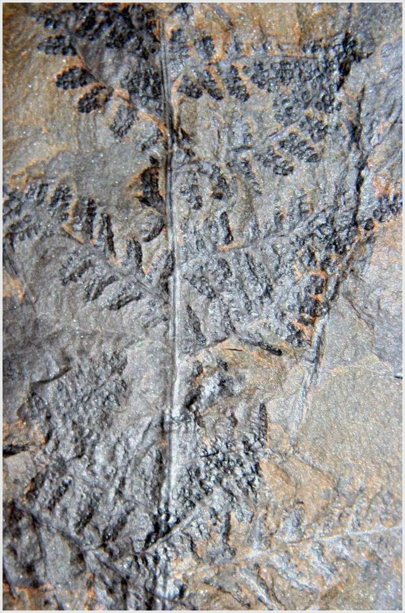 Rhodeites  Urnatopteris   Pl_myr10