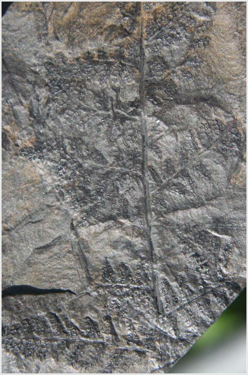 Rhodeites  Urnatopteris   Pl_myr11