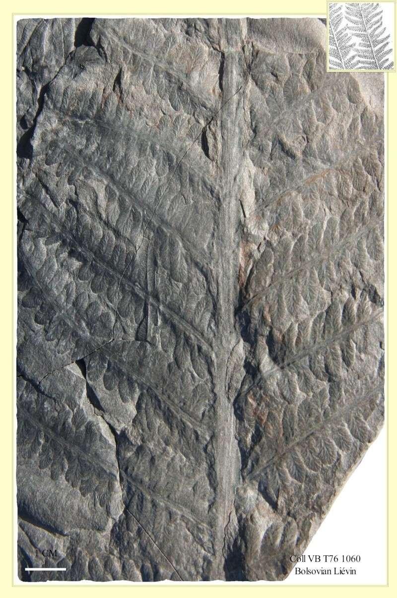 Pecopteris (Brongniart ) , Sternberg 1825. Pl_pec11